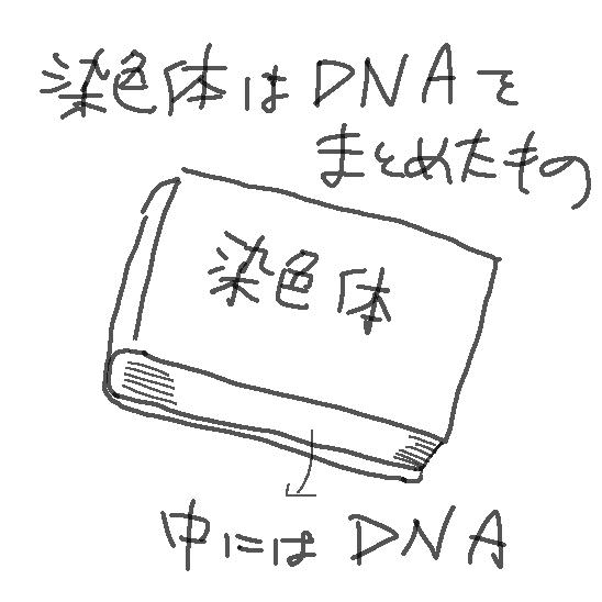 染色体はDNAをまとめたもの